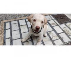 Labrador Price in Jammu, Buy Online, For Sale