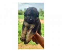 German Shepherd (GSD) available in chattisgarh