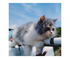 Dilute calico Kitten Available for Sale