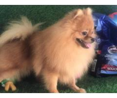 beautiful Toy Pom Male available for loving homes