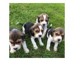 Beagle Babies for rehoming Delhi