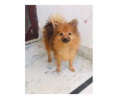 Brown Pomeranian For Sale
