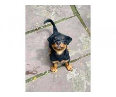 Rottweiler Puppy For Sale in Bhopal