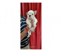 English Bulldog Price in Pune, For Sale