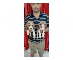 Beagle Price in Pune, For Sale, Beagle Puppies Available
