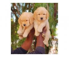 R K KENNELS - Pet Supplies, Pet Shop, Breeding, Dogs For Sale