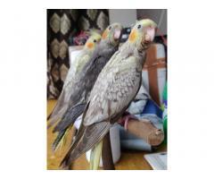 Cockatiel Birds Price in Mumbai, For Sale, Buy Online