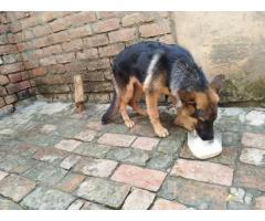 Best Quality German Shepherd Available Karnal