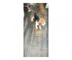 Top Quality proper marking Beagle Male Puppy