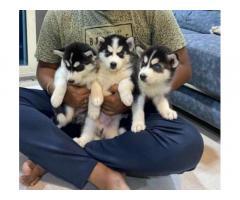 Husky Puppies For Sale in Mumbai, Thane, New Mumbai