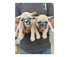 French Bulldog Male and Female with Paper Nagpur