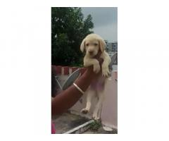 Labrador Puppies Price in Indore, For Sale, Buy Online