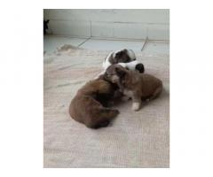ShihTzu Puppies Price in Bhopal, For Sale, Buy Online