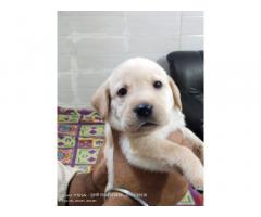 Labrador Puppies Price in Kanpur, For Sale, Buy Online