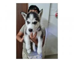Husky Puppies Price in Pune, For Sale, Buy Online