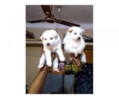 Pom Puppies available For Sale in Mumbai, Pet Store, Pet Shop
