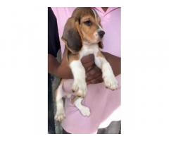 Beagle Puppies Price in Mumbai, For Sale, Buy Online