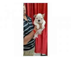 English Bulldog Female Puppy Available