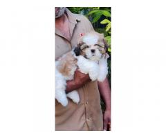 Shih Tzu Puppies Price in Banglore, For Sale, Buy Online