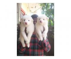 Pomeranian Puppy Available for Sale Mumbai