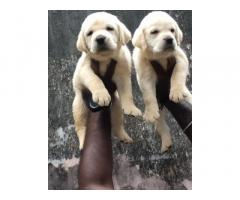 Lab Male Puppies Available For Lovely Homes Trivandrum