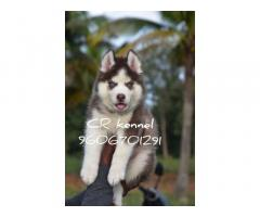Husky Puppies Available for Sale