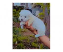 Milky White Pomeranian Puppies Available In Mumbai