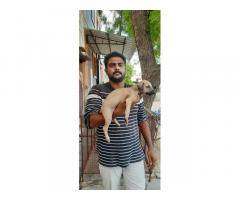Chippiparai Puppies Available