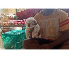 Shihtzu Male Puppies available for sale in Mumbai