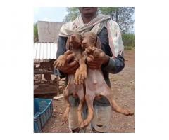 Doberman Male Puppies Available Satara