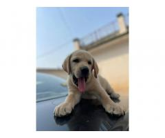 Lab Female for Sale