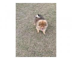 Pom Puppies Price in Ludhiana, For Sale, Buy Online