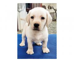 Show quality lab male puppy searching new home