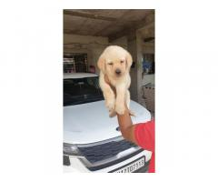 Labrador Male Puppies Available in Pune