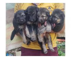 German Shepherd Price in Basoda Vidisha, For Sale, Buy Online