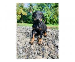 Top quality Doberman puppies available KUPPU'S kennel
