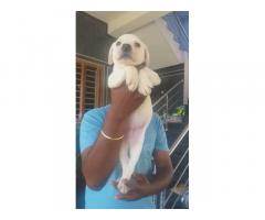 Good Quality Lab Male Puppy Available at Bhavani