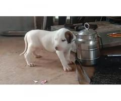 Bully Kutta Puppies Available
