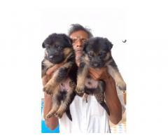 Big Head Heavy Bone GSD Puppies Available
