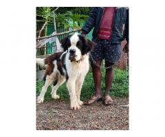 St Bernard Stud Male Available for Sale