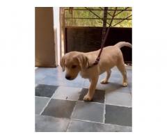 Lab 2 Month Old Female Puppy Available Pimpri Pune