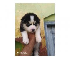 Husky Male available Top Quality