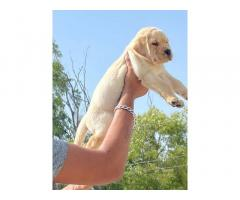 Labra Top Quality Male Female Pup Available