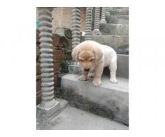 Labrador Price in Jind Haryana, For Sale, Buy Online