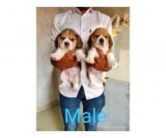 Beagle Puppies available in Navi Mumbai Vashi