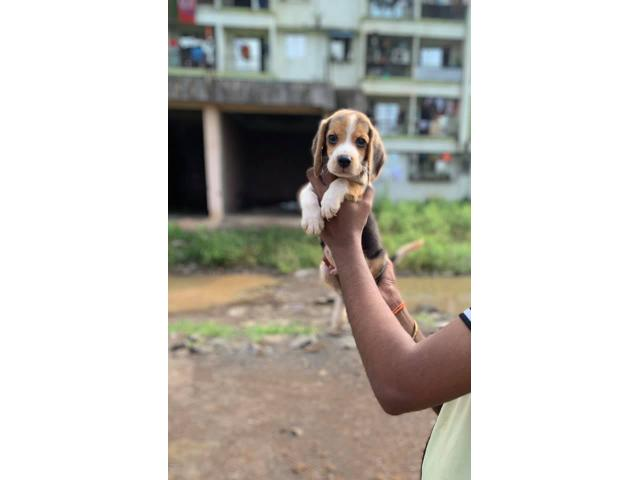 Beagle Male for Sale in Pune, Buy Online, Price