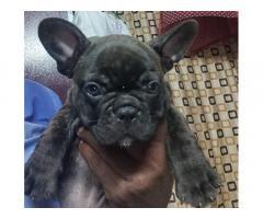 French Bulldog for Sale in Mumbai, Buy Online, Price
