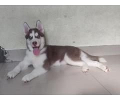 Husky Dog Puppies For Sale in Baramati, Buy Online, Price