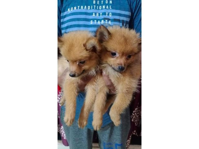 Culture Pom puppy for Sale