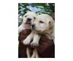Labrador Puppies Booking Started in Kollam
